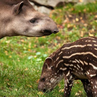 Tapir (tapirus pinchaque)